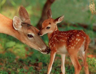 Baby-Deer-And-Mother-03-392x300