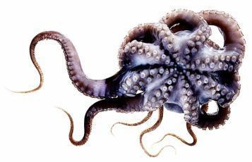 qq_octopus_f